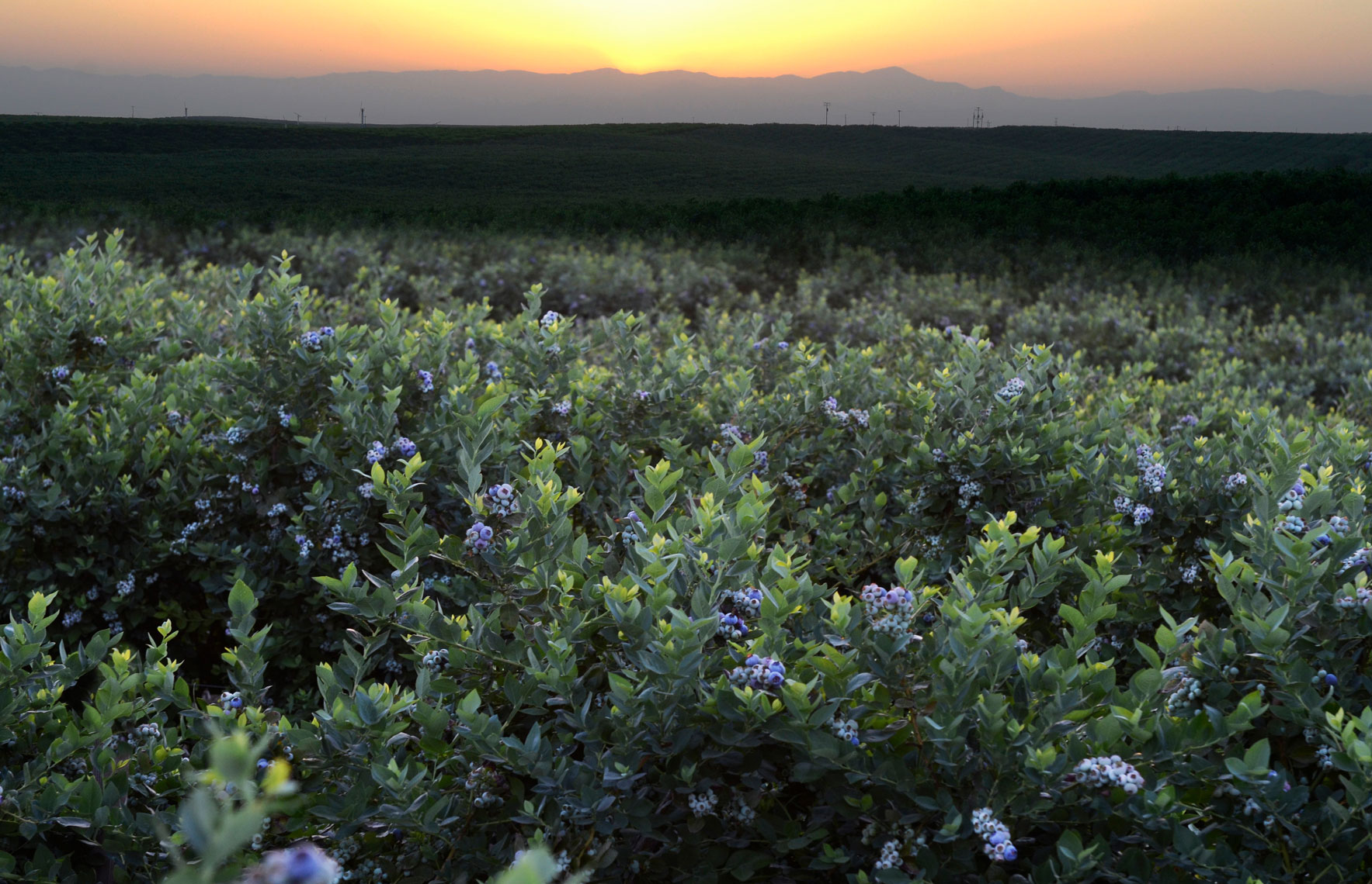 Blueberry-orchard-at-sunset-in-Delano-California